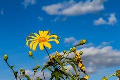 Beau un diversifolia de Tithonia avec les nuages et le ciel bleu comme fond photo libre de droits