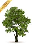 Beau vecteur d'arbre sur un fond blanc Photo libre de droits