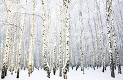 Beau verger de bouleau avec la neige couverte Photo libre de droits
