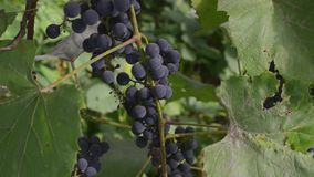 Beau vignoble au coucher du soleil en raisins mûrs de récolte d'automne dans l'automne banque de vidéos