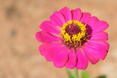 Beau violacea rose Cav de Zinnia de fleur avec le fond de sol photos libres de droits