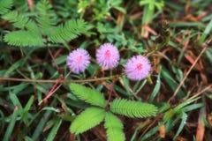Beau violet/pourpre fleurit l'usine sensible de pudica de mimosa, Photo stock