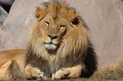 Beau visage de Lion Leaning Against africain une roche images stock