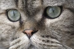 Beau visage du chat. Photographie stock