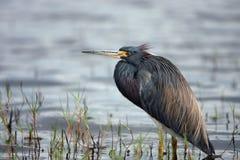 Beau Waterbird Images libres de droits