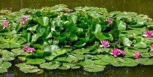 Beau Waterlily dans l'étang Photo stock