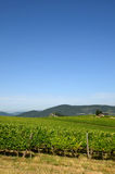Beau Wineyards vert en Toscane, chianti, Italie images stock