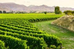 Beau yard de raisin Photographie stock libre de droits