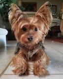 Beau Yorkie Yorkshire Terrier sur le plancher de tuiles photos libres de droits