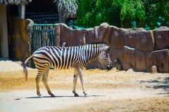 Beau zèbre dans le zoo le plus ancien au Vietnam en Ho Chi Minh City AZ Photo stock