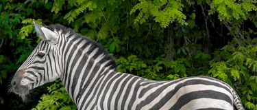 Beau zèbre Haut proche de zèbre Animaux de zoo photo libre de droits