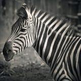 Beau zebra& x27 ; tête de s Photographie stock libre de droits