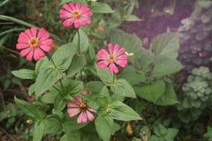 beau Zinnia rose de floraison photo stock