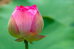 Beauatiful lotus Royalty Free Stock Photo