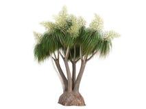 beauca nolina palmowy ponytail recurvata ilustracja wektor