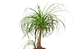Beaucarnea. Inside palm Beaucarnea isolated on white background Royalty Free Stock Photo