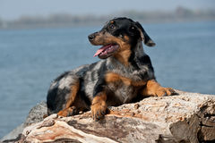 Beauceron Stock Photo