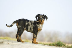 Beauceron Royaltyfri Foto
