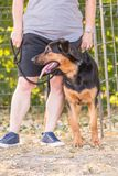 Beauceron adut hond royalty-vrije stock afbeelding