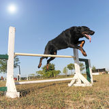 Beauceron in agility Stock Photography