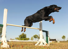 Beauceron in agility royalty free stock image