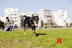 Beauceron / Australian Shepherd Running after Dog Chew Toy Stock Photography