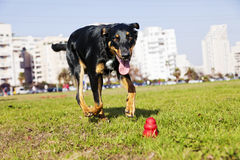 Beauceron / Australian Shepherd Running after Dog Chew Toy. A Beauceron and Australian Shepherd mixed breed dog running for its chew toy in an urban park Stock Photos