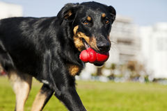 Beauceron / Australian Shepherd Dog with Toy at the Park. A Beauceron and Australian Shepherd mixed breed dog walking in an urban park with a red chew toy in its Stock Image