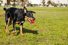 Beauceron/australisk herde Dog med leksaken på parkera royaltyfria foton