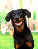 Beauceron, Boseron, Berger de Beauce Imagem de Stock
