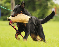 Beauceron dog defense Stock Photo