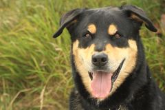 Beauceron dog Stock Image
