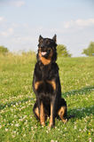 Beauceron dog Royalty Free Stock Images