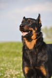 Beauceron dog Royalty Free Stock Images