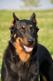 Beauceron dog Stock Photography