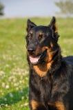 Beauceron dog Stock Image