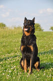 Beauceron dog. On the green grass Royalty Free Stock Image