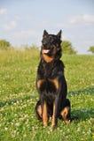 Beauceron dog Royalty Free Stock Image