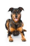 Beauceron dog Stock Photo