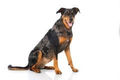 Beauceron dog Royalty Free Stock Photos