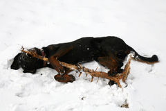 Beauceron dog plaing with stick on snow Stock Image