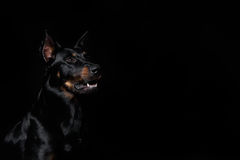 Beauceron dog with tongue out, black background Stock Photography