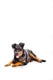 Beauceron French Shepherd stock image