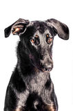 Beauceron French Shepherd. Portrait of a beauceron french shepherd on a white background Royalty Free Stock Photos