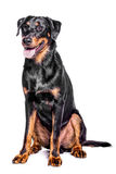 Beauceron French Shepherd. Portrait of a beauceron french shepherd on a white background Stock Images