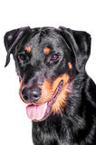Beauceron French Shepherd. Portrait of a beauceron french shepherd on a white background Royalty Free Stock Images
