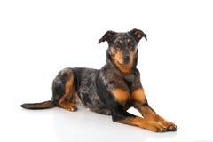 Beauceron hund royaltyfria bilder