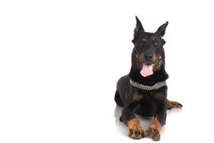 Beauceron hund på vit bakgrund, främre sikt royaltyfri foto