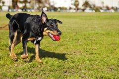 Beauceron/pastor australiano Dog com o brinquedo no parque Fotos de Stock Royalty Free