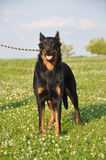 Beauceron pies obrazy stock
